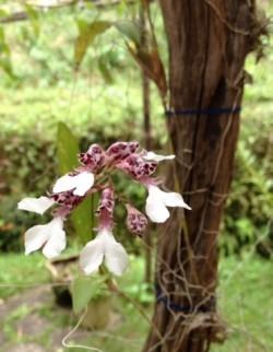 Rodriguesia